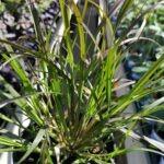 Gräser Rotlaubig